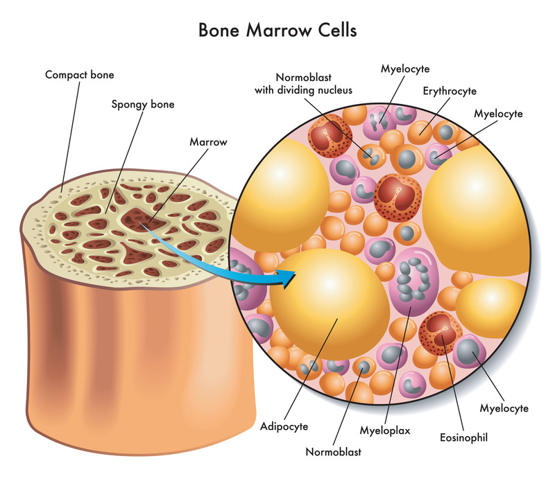 Mesenchymal medical illustration of the composition of bone marrow cells